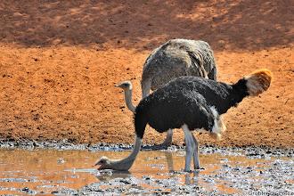 Photo: A male ostrich drinking water at the Haak en Steek waterhole in the Mokala National Park in South Africa