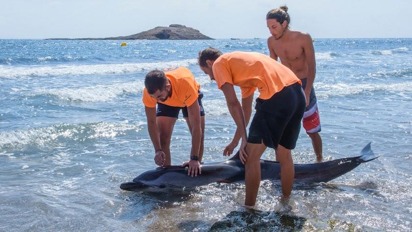 Aparece una hembra de delfín listado moribunda en Carboneras