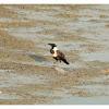 Corvus torquatus 白頸鴉