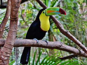 Photo: Fischertukan, auch Regenbogentukan genannt (Ramphastos sulfuratus, Keel-billed Toucan) Aufgenommen in einer großen, begehbaren Voliere im  Macaw Mountain Bird Park in Copán.
