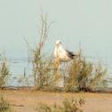 Huge gull