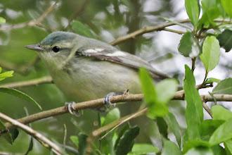 Photo: Cerulean Warbler