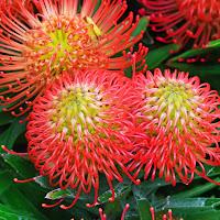 fiori di protea di