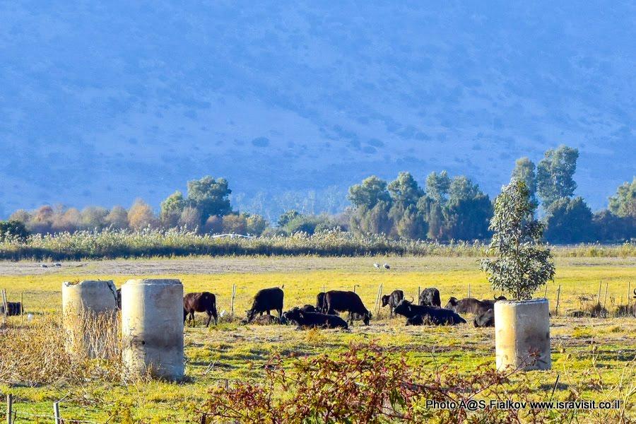 Буйволы. Экскурсия в Израиле в национальный заповедник на озеро Агмон Хула.