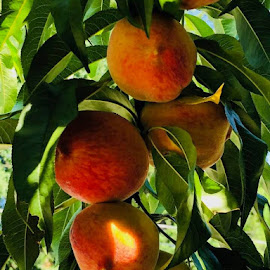 Peachy Day by Lori Fix - Food & Drink Fruits & Vegetables