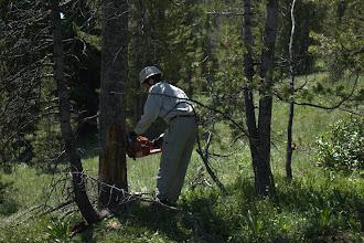 Photo: Josh felling a dead whitebark pine