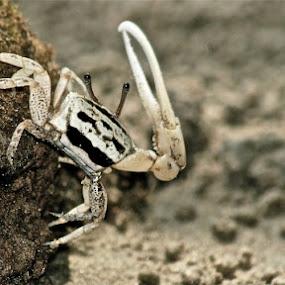 Monster Crab by Enggus Fatriyadi - Animals Sea Creatures