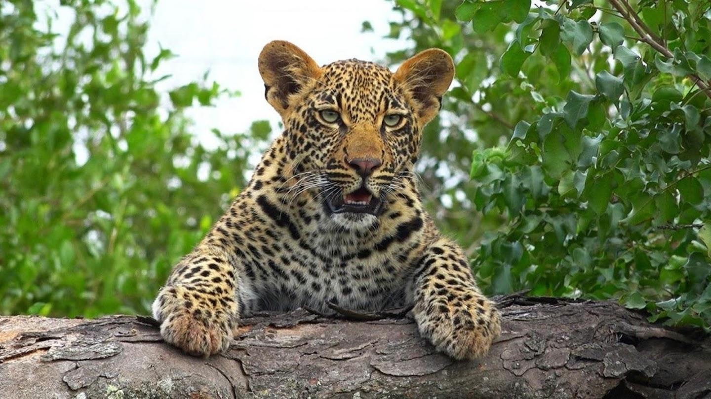 Watch Leopard Kingdom live