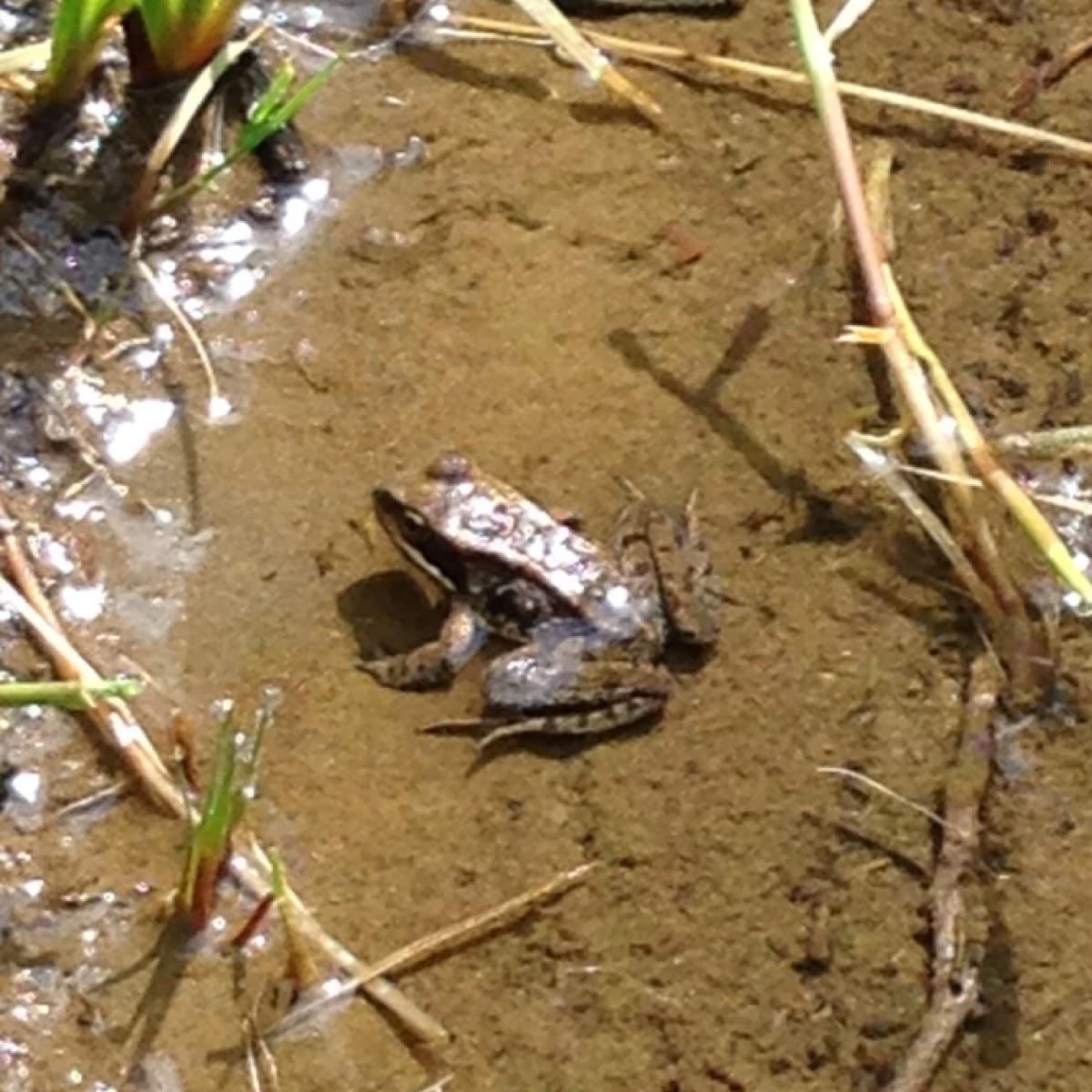 Cascades frog