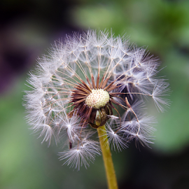 weed seeds by LADOCKi Elvira - Nature Up Close Other plants ( nature, flowers, garden )