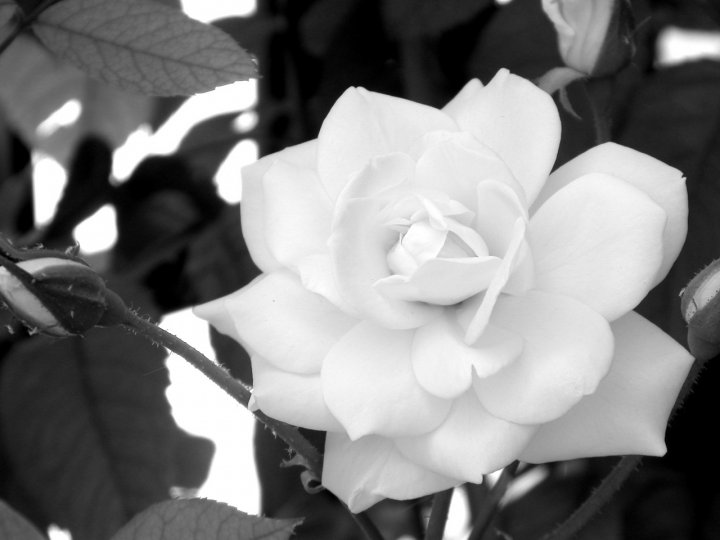 White Rose (2) di zenpa
