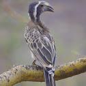 African grey hornbill (Male)