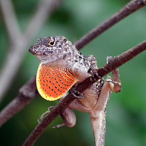 Hanging Out by Alycia Marshall-Steen - Animals Reptiles ( lizard lve, lizard hanging out, brown anole, lizard,  )