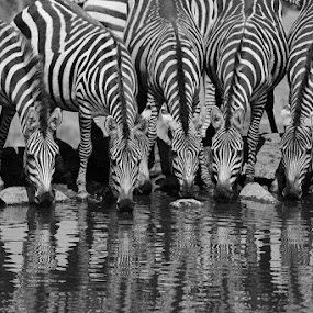 Drinking Stripes by Andrew Morgan - Black & White Animals ( serengeti, drinking, safari, travel, zebra, africa, stripes )