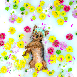 Living the Life by Chanin Green - Animals - Dogs Portraits ( flowers, yorkshire terrier, yorkie, animal, dog, milk bath )