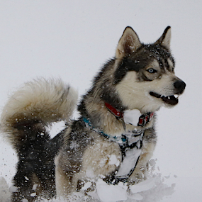 In His Element by Kari Schoen - Animals - Dogs Playing ( canine, snow, husky, blizzard, dog )