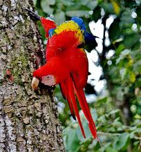 Photo: Hellroter Ara, auch Arakanga genannt (Ara macao, Scarlet Macaw) bei der Futtersuche.