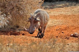 Photo: Warthog at the Haak en Steek waterhole,  Mokala National Park.