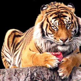Sumatran Tiger by Phil Le Cren - Animals Lions, Tigers & Big Cats ( big cat, cat, tiger, wildlife, sumatran tiger, mammal,  )