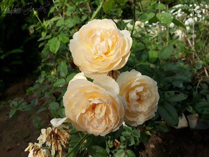 Chùm hoa hồng ngoại Shepherdess Rose với tông màu vàng hơi ngả màu cam!