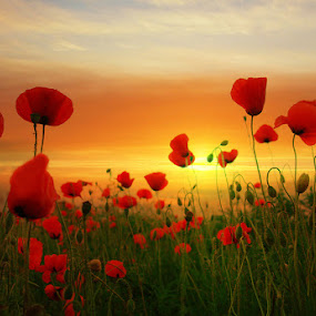 Poppy by Senna Ayd - Nature Up Close Flowers - 2011-2013 ( red, s, green, meadow, flowers, landscape, sun )
