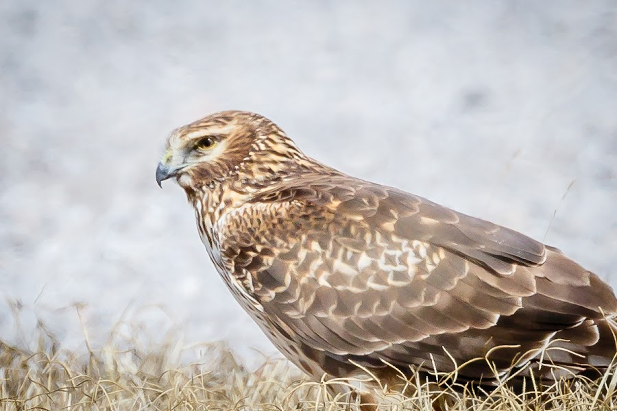 Red Tail Hawk Taking a Break by Jim Hendrickson - Novices Only Wildlife ( bird, birds of prey, bird of prey, red, oklahoma, hawks, birds, tail, hawk )