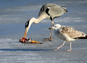 Photo: Racek bělohlavý (Larus cachinnans)+Volavka popelavá (Ardea cinerea)