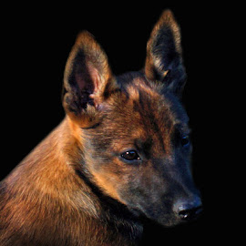 Mesa - Head Portrait by Twin Wranglers Baker - Animals - Dogs Puppies (  )