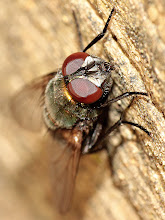 Photo: Coppery coloured fly