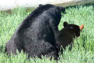 Photo: 07/06/2013 - Bear Country Park, Rapid City, South Dakota - Black Bears - trying to make other little Black Bears