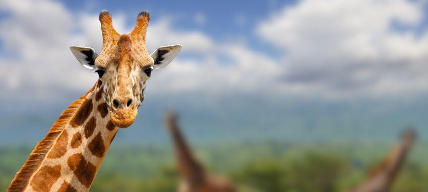 Sammanfattning av Giraffspråket