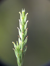 Photo: Crucianella angustifolia