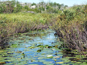 Photo: Sedge (left), yellow water lily, leatherleaf at top of On East Pine Island Pond