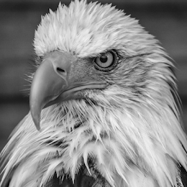 Sam by Garry Chisholm - Black & White Animals ( bird of prey, nature, bald eagle, banham, garrychisholm, raptor )