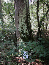 Photo: Down, down the Tejas trail to its intersection with the Juniper Trail, where this 98' tall Doug-fir stands at the edge of a small draw.