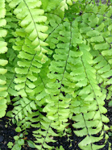Photo: Maiden Hair Fern: Adiantum aleuticum)They are distinctive in appearance, with dark, often black stipes and rachises, and bright green, often delicately cut leaf tissue. The sori are borne submarginally, and are covered by reflexed flaps of leaf tissue which resemble indusia.