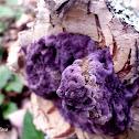 Cobalt Crust Fungus