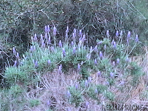 Photo: Lavendeln blommar!!!!! Doftar ljuvligt!