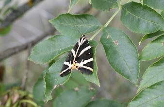 Photo: Euplagia quadripunctaria     Lepidoptera > Erebidae