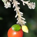 Flax-leaved Daphne; Torvisco