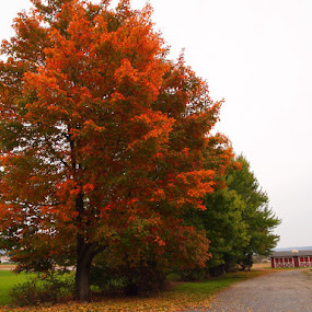 Beautiful Fall by Jackie Sleter - Nature Up Close Trees & Bushes ( fall leaves on ground, sight, fall leaves, tree, barn, leaves, pwcfallleaves-dq )