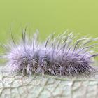 Delicate Cycnia Caterpillar