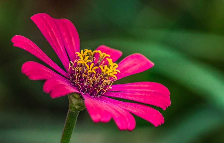 Zinnia by Ram Domaoal - Flowers Single Flower ( pink, beauty, garden, flower,  )