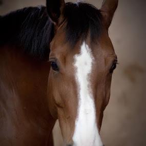 by Aleksander Cierpisz - Animals Horses ( face, horse )
