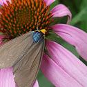 Virginia Ctenucha Moth