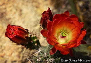 "Photo: ""Hedgehog Cactus""  Saija Lehtonen Photography  #CactusFlowers #Cactus #Arizona #Southwest #Nature #Photography #Floral"