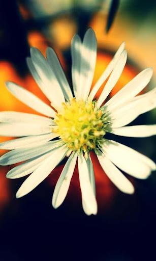 live wallpaper daisy