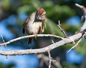 Photo: Swamp Sparrow scratching