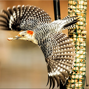 Red-bellied Woodpecker Gets His Nut by Stan Lupo - Animals Birds ( nature, birds as art, avian photography, outdoors, wildlife, avian art, woodpecker, red-bellied woodpecker, bird photography, birds in flight,  )