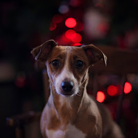 jasmines 1st christmas by Melissa Marie Gomersall - Animals - Dogs Portraits ( pup, cute, christmas,  )
